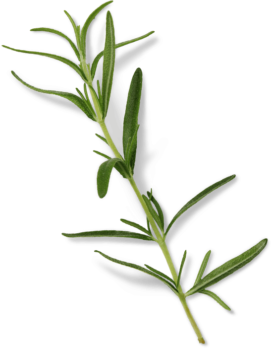 CBD Global Rosemary Plant