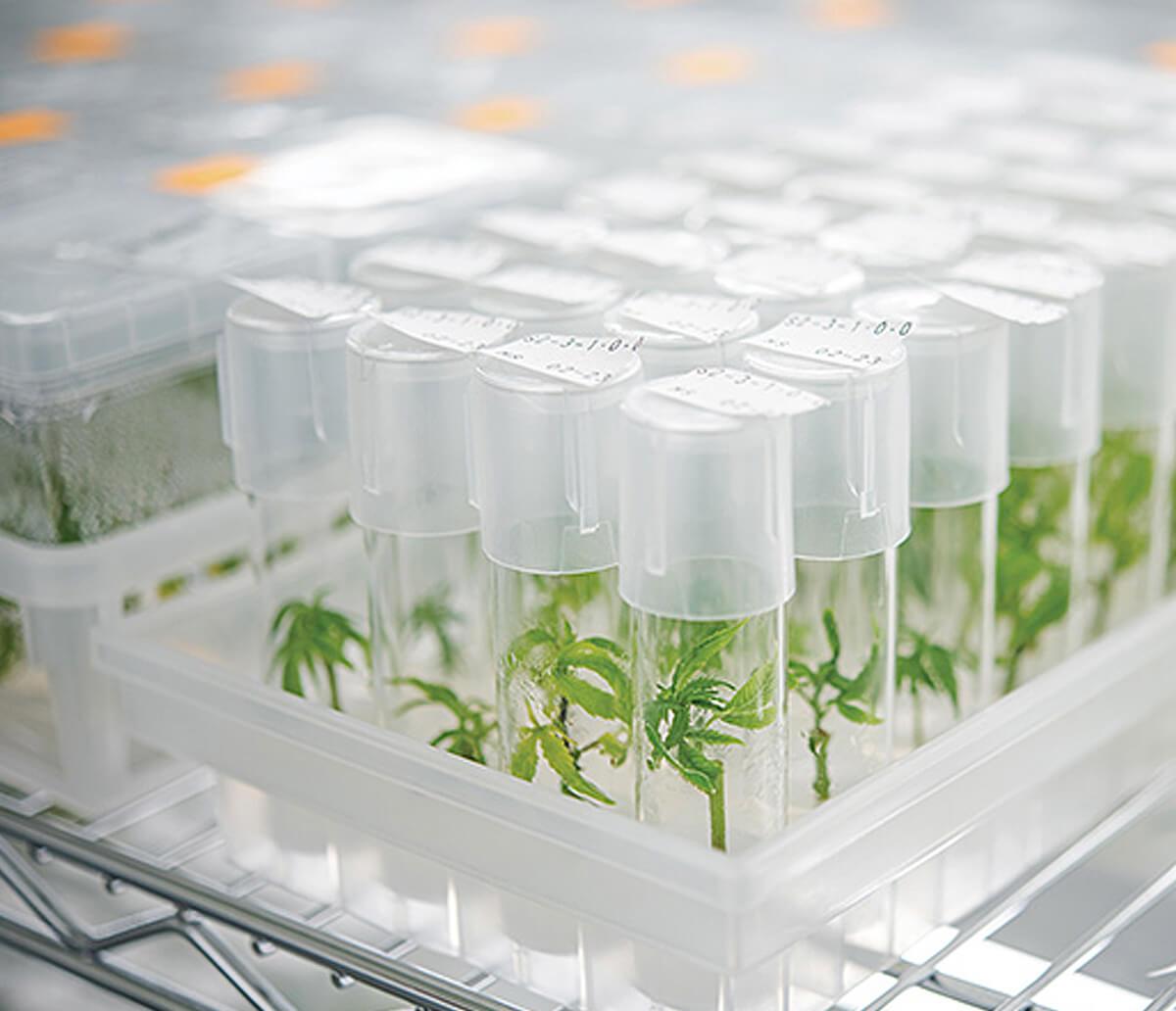 Cannabis Plant Grow Genetics CBD Global